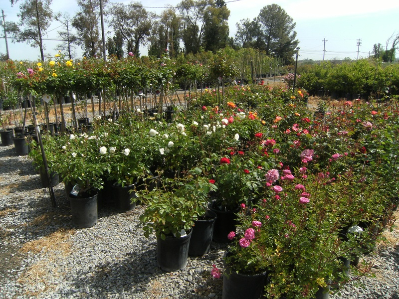 Our Roses Come From A Few Sources Most Of Patented Bareroot To Us Weeks Tops In The Industry By Clicking On Their Link You Can